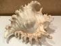 Большая морская раковина